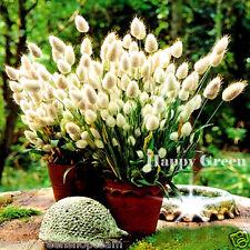Ornamental Grass - BUNNY S TAILS - 600 SEEDS - Lagurus Ovatus - Annual