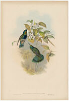 Gould Hummingbird antique h/c lithograph w/gold leaf Pl 226 Chequered Violet Ear