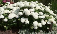 Hydrangea arborescens Annabelle 40-60, Schneeballhortensie, gr. cremeweiße Blüte