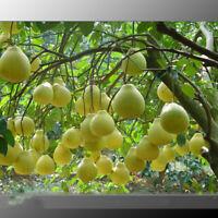 Sweet Yellow Grapefruit Citrus Maxima Fruit Seeds Fresh Grapefruit Seeds Bonsai