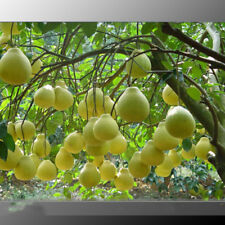 Sweet Yellow Grapefruit Citrus Maxima Fruit Seeds Fresh Grapefruit Seeds Bonsai