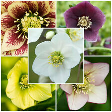 Helleborus - 2017 Mixed SEED - 20 Seeds - Yellow White Pink Red & Black Parents