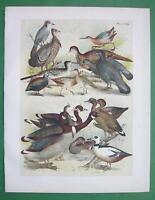 BIRDS Duck Jay Grouse Goose Partridge Cock etc - COLOR Litho Antique Print