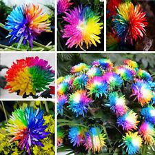 100pcs/bag Rainbow Chrysanthemum Flower Seeds Rare Home Garden Decoration Seeds