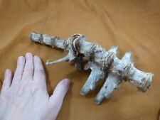 (G473-1) 8 vertebrae section Gator Alligator cartilage vert bone love gators Fl