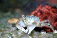 New listing 3 Freshwater Dwarf Mud Crabs Free Shipping!