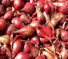 "ONION ""Tropea red"" 100 vegetable seeds edible garden heirloom vegetable seeds"