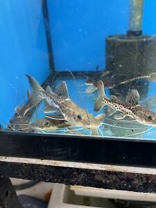 1 Redtail Tiger Shovelnose Hybrid Catfish 3-4 Inches Imported Asia.Free Shipping
