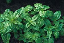 Ocimum Herb Seeds