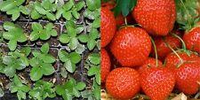 Aardbeiplanten in pot/Plantes de fraises en godet/ 15 stuks/pcs