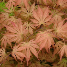 Rare 'Ariadne' Japanese Maple Tree Seeds. Acer palmatum. 25 Seeds.