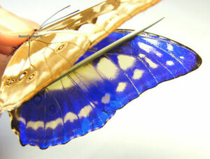 Unmounted Butterfly / Morphidae - Morpho cypris chrysonicus, male 3, RARE,...
