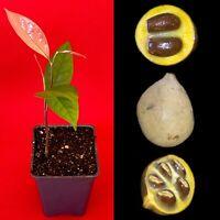 KEPEL Stelechocarpus burahol Tropical Fruit Potted Tree Plant RARE