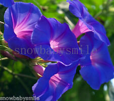 100 Large Morning Glory Seeds Ipomoea Nil Climbing Vine Flower Heirloom CombSH