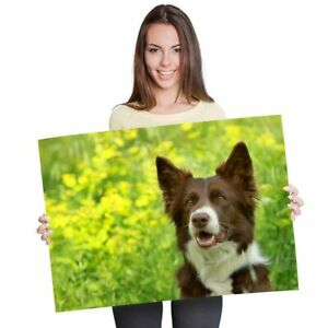 A1 - Cute Brown Border Collie Dogs Animals Poster 60X90cm180gsm Print #8628