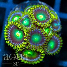 New listing Asd - 067 Dragon Eyes Zoanthids - Wysiwyg - Aqua Sd Live Coral Frag