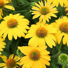 3 Rare Echinacea Lemon Yellow Coneflowers Plant Attracts butterflies and birds