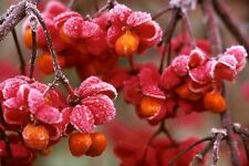 SPINDLE TREE Euonymus Europaeus Red Cascade 1M POTTED Pink Berries Birds Bees