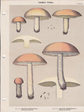 MUSHROOM PRINT. Edible Fungi Of New York. Circa 1900 ~Boletus Cranulatus