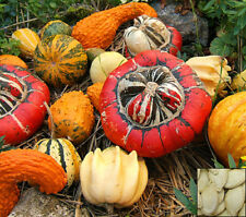 Mix Of Gourds - Ornamental pumpkin - Cucurbita Pepo - 25 Seeds #775