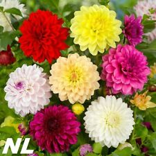 100Pcs Dahlia Flowers Seeds 12 Kinds Bonsai Gardening Plant Bright Colorful
