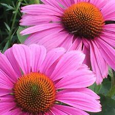 Seeds Purple Echinacea Echinacea Medicinal Wild Organic Perennial Ukraine