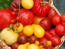 TOMATO SEEDS 4 VARIETYS(GROSSE LISSE,YELLOW PEAR,TOMMY TOE,OXHEART)