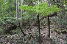 Der SILBERFARN ist eine Rarität unter den Baumfarnen.