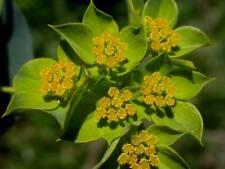 40+ Hare's Ear Green Gold Bupleurum Flower Seeds / Annual / Filler for Arrangeme