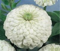 Zinnia- Polar Bear White- 100 Seeds- BOGO 50% off SALE