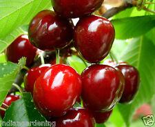 Live Sweet Cherry Fruit Plant Barbados cherry Malpighia emarginata Plant