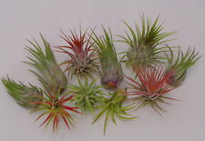 10 Pack Assorted Tillandsia Ionantha FREE SHIPPING