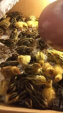 12 Japanese mix colours Quail Hatching Eggs for Sale