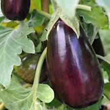 EGGPLANT SEED, BLACK BEAUTY, HEIRLOOM, ORGANIC, NON GMO, 25+SEEDS, VEGETABLE