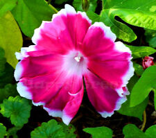 Morning Glory - Ipomoea Nil Morning Call Mix - 80 SEEDS - Extra Large Flowers