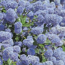5 PZ Pianta di Ceanothus Ceanoto Ceanotus Cespuglio arredo giardino vaso 7