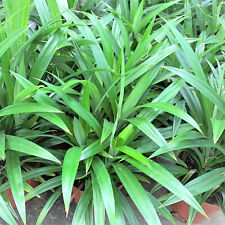 200 seeds Fragrant Grass Annual Pandan plant MIXED Fragrant Spices survival US