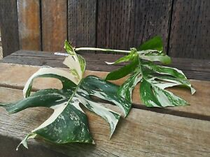 Two Leaved Albo Variegated Monstera Deliciosa - Rooted Cutting