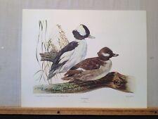 "Vintage Lithograph Art Print Bufflehead Ducks by Lee LeBlanc USA 23"" X 18"""