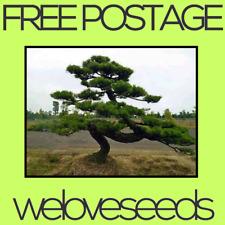 LOCAL AUSSIE STOCK - Japanese Black Pine, Pinus Thunbergii, Bonsai Seeds ~20x