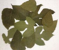 Maulbeerblätter - sehr nährstoffreiches Futter für Garnelen, Krebse, Schnecken..