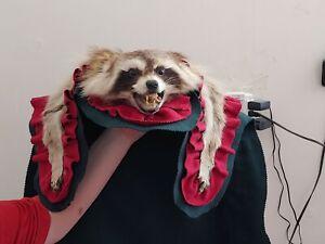 @RARE Vintage Taxidermy Real Racoon Rug Fur Pelt Mat Home Decor Art Fox Squirrel