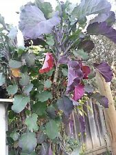 12Purple tree Collard (Twelve)Fresh cuttings(6 to 7inches) for $11 plus s/h