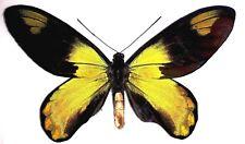 Ornithoptera victoriae victoriae male...MONSTER SIZE....154 MM!!!....VERY RARE!!