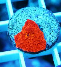 Jawbreaker Mushroom Zoanthids Palythoa Paly Zoa Soft Coral Wysiwyg