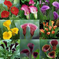 Cool New Popular 100PCS Bonsai Colorful Calla Lily Seeds Rare Plants Flowers ID8