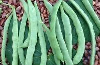 Kentucky Wonder Bean Seed - Heirloom Greenpod Pole Beans Seeds (¼oz to 1 LB)