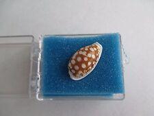Cypraea Cribraria 25mm Bantayan Island Cebu Philippines Linne 090S8