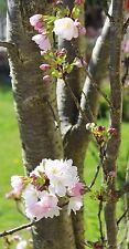 Säulen - Zierkirsche Prunus serrulata 'Amanogawa'  60 - 100 cm im Container