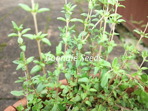 THYME 300+ seeds culinary herb easy to grow DROUGHT TOLERANT herb garden